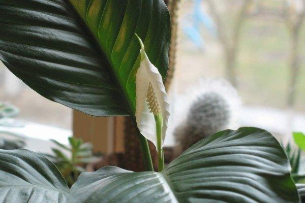 Спатифиллум с цветком